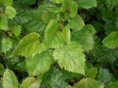 Aristotelia serrata - Makomako - Wineberry   I wanted to plant this when I was in Auckland.
