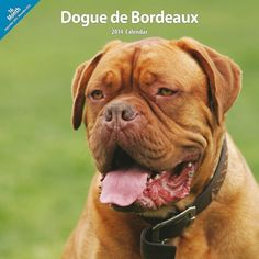 Dogue de Bordeaux 2014 Wall Calendar * Be sure to check out this awesome product.