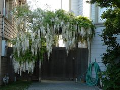 Wisteria Wisteria Garden, White Wisteria, Pretty Flowers, White Flowers, Vides, House Paint Exterior, Unique Gardens, Garden Photos, House Painting