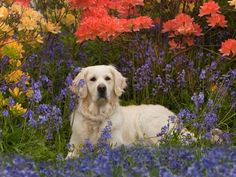 Golden Retriever in Spring: many of these images are part of our Free Wallpaper and Free Screensavers