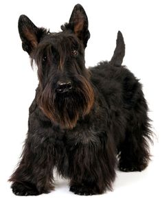 Scottish Terrier Dog Puppy #Scottie