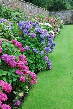 HYDRANGEAS - Gorgeous row trims the fence.