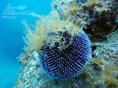 Nurkowanie w Chorwacji  i dziwy pod wodą. Jeżowce i rafy koralowe. http://www.divingpag.com/pl/