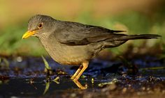 Karoo Thrush (Turdus smithi) by Ian n. White, via Flickr