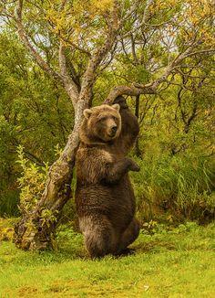 Ours brun au Katmai National Park, Alaska