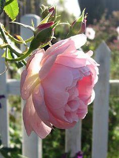 i love pink roses