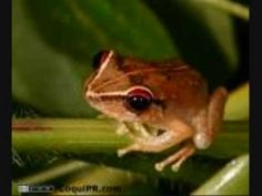The Coqui- Sounds of Puerto Rico