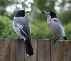 Grey Butcherbird (Cracticus torquatus) is a widely distributed species endemic to Australia.