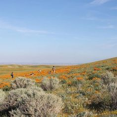 Caliparks : Antelope Valley California Poppy Reserve California Poppy, Valley California, Local Parks, Park Photos, Park City, Regional, Poppies, Mountains, History