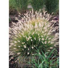 Rozplenica (Pennisetum) Hameln