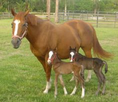 Twin Horses Foals | ... twin? Did your mare ever foal twins? POST TWIN PICTURES! - Page 13