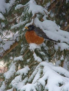 either this is the first robin of Spring or this is an area where the Robins stay all winter like where they grow grapes in the Northeast area of PA. Snow Scenes, Winter Scenes, Love Birds, Beautiful Birds, Pretty Birds, Johnny Jump Up, Hope Is The Thing With Feathers, American Robin, Winter Beauty