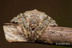 Araña envolvedora (Dolophones)