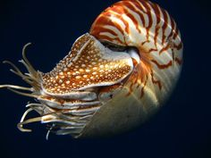 Chambered Nautilus, 'Living Fossil' Depleted by International Shell Trade, Moves Toward Endangered Species Act Protection Underwater Creatures, Underwater Life, Florida Fish, Living Fossil, Deep Sea Creatures, Beneath The Sea, Nautilus Shell, Belleza Natural, Animals Of The World