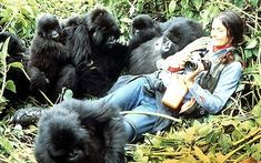 Dian Fossey lived in Rwanda for 18 years studying the lowland gorilla in its natural habitat. She approached and befriended a colony of gorillas, gaining their trust over time, and was even accepted as a member of their group. Over the years, Fossey wrote about her relationship with the gorillas, which led to the supporting of her work through the Digit Fund (named after her favorite juvenile gorilla), which later grew into the organization The Gorilla Fund.