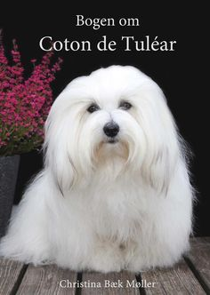 The Coton de Tulear is being recorded in the AKC Foundation Stock Service® - The AKC provides this service to allow purebred breeds to continue to develop while providing them with the security of a reliable and reputable avenue to maintain their records. FSS® breeds are not eligible for AKC registration. Several of the FSS breeds are approved to compete in AKC Companion Events and AKC Performance Events