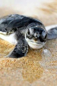 ~♥~ too adorable not to pin ~♥~ Sea turtle ;)