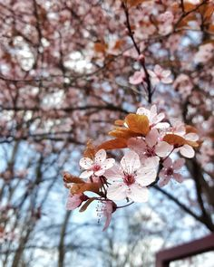 Before May ends I wanna share with you one of the photos I love the most from this spring. It's a decorative Chinese cherry tree blossom 😍 . Cherry Tree, Cherry Blossom, Spring Flowers, Beautiful Flowers, Dandelion, Nature Photography, Chinese, Photo And Video, Plants