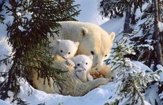polar bears so cute!!