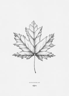 Hand drawn illustration of a maple leaf by inkylines. The maple leaf is the national symbol of Canada, but is also the symbol of independence, wisdom, connection and unity.