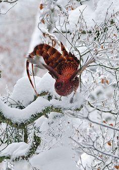Copper Pheasant
