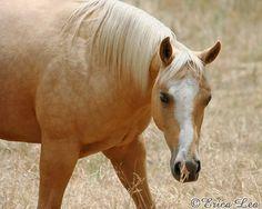 Palomino   ♥ #horses #nature #animals