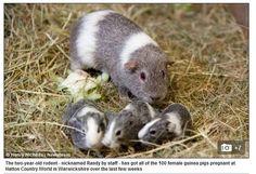 Pegador! Porquinho da índia foge de jaula e engravida 100 fêmeas em santuário da raça http://r7.com/cRhD  (Foto: Reprodução/Daily Mail)