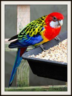 The Rosella Parakeet