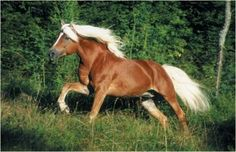 Halflinger - Austrian small draft horse