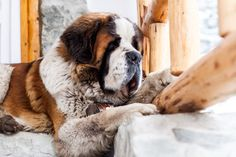 Ben - he is Valea Seacă's (Romania) guard dog, also he is very nice and cute Saint-Bernard Guard Dog, Saints, Cute Animals, Romania, Pets, Nice, Santos, Pretty Animals, Animals And Pets