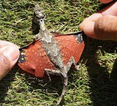 Draco volan or flying Dragon. Indonesia