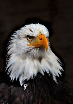 American Bald Eagle, Having That Very Bold Look. Eagle Images, Eagle Pictures, Animal Pictures, Owl Bird, Pet Birds, Beautiful Birds, Animals Beautiful, Rapace Diurne, Animal Medicine