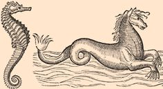 """Year: 1560  Scientist: Conrad Gesner  Originally published in: Nomenclator Aquatilium Animantium  Now appears in: Curious Woodcuts of Fanciful and Real Beasts by Conrad Gesner    {In Gesner's time, besides the diminutive fish we know today (left), many Europeans believed in a different kind of """"seahorse"""" (right). These pictures are obviously not on the same scale.}"""