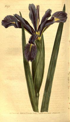 v.21-22 (1804-1805) - Curtis's botanical magazine. - Biodiversity Heritage Library  Long - Leaved Flag Iris