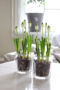 Cfl for Indoor Plants . Cfl for Indoor Plants . Garden Bulbs, Planting Bulbs, Planting Flowers, Beautiful Bouquet Of Flowers, White Flowers, Deco Boheme, Spring Bulbs, Deco Floral, Flower Branch