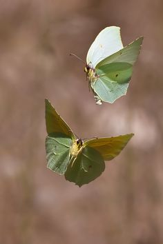 Two Cleopatra butterflies in flight.