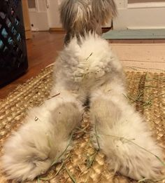 wally the angora rabbit | Meet Wally, The Bunny With The Biggest Wing-Like Ears | Bored Panda