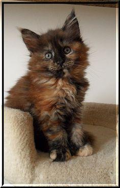 Chenango's Sorcha Maine Coon kitten