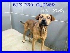 PAST DUE....CAN BE PTS ANYTIME!! B13-394 OLIVER SHEPHERD MIX MALE ADULT LAST DAY OCT 7 https://www.facebook.com/photo.php?fbid=640292839334673&set=a.184482464915715.41209.184442991586329&type=1