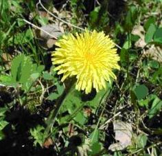 Dandelion has all the nutritive salts that are required for the body to purify the blood.  Dandelion also contains oils and bitter resins that have a stimulating effect on the liver and kidneys.  It can induce a flow of bile from the liver and is considered one of the best remedies for hepatitis and cirrhosis.  European herbalists have used the juice of the root to treat diabetes and liver diseases. It's also effective for the treatment of breast cancer.