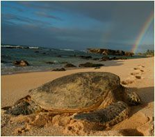 A Loggerhead Turtle arrives on this beach on Nicaragua's South Pacific coast to lay her eggs.