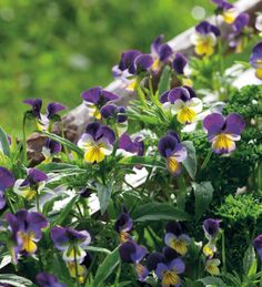 My favourite edible flower - delicate petals of purple, cream and yellow to decorate salads and puddings. Can be sown and grown almost any month of the year.