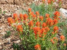 Orange Paintbrush - https://melaniepsmith.com/downloads/orange-paintbrush/ - Orange Indian Paintbrush | Utah Wilderness  Purchased photo will not contain watermark. You are purchasing a standard license Click Here for license details.  You may use this image in accordance with the license agreement in such things as web blogs, magazines, book covers, web design, etc.   - https://melaniepsmith.com/wp-content/uploads/edd/2016/04/Orange-Paintbrush.jpg