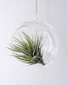 Air plants. Low maintenance!