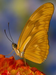~~ Julia Butterfly by Darrell Gulin~~