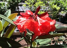 Tally Ho rhododendron, #sonomahort, Sonoma Horticultural Nursery — Sebastopol, CA http://www.sonomahort.com