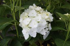 HYDRANGEA macrophylla 'Nymphe' Hydrangea Macrophylla, Hydrangeas, Nymph, Hydrangea
