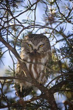 ~~Saw Whet Owl by John Bennett~~