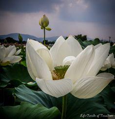 Lotus in Gyeongju, South Korea by LifeOutsideofTexas.com                                                                                                                                                     More