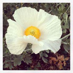 Matilija Poppy papaveraceae